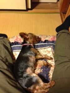 足の間で眠るヨークシャーテリアさん