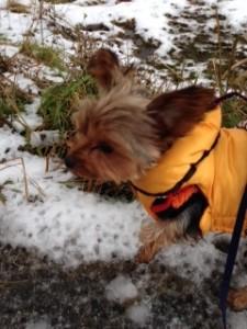 雪の日のお散歩は大好きなヨークシャーテリアさん