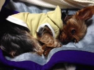 ふかふか毛布が大好きなヨークシャーテリアさん