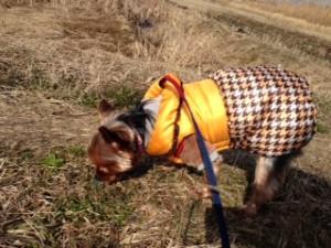 晴れの日のお散歩は楽しいヨークシャーテリアさん