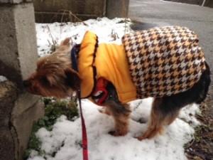 雪の日にお散歩するヨークシャーテリアさん